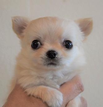 チワワ(ロング)の子犬(ID:1254311070)の1枚目の写真/更新日:2017-04-17