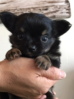 チワワ(ロング)の子犬(ID:1254311073)の1枚目の写真/更新日:2017-04-28