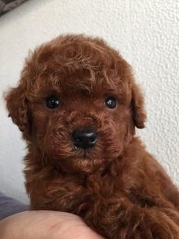 トイプードルの子犬(ID:1254311074)の1枚目の写真/更新日:2017-04-28