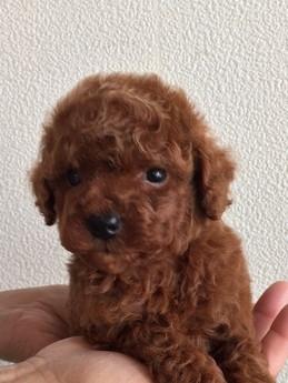 トイプードルの子犬(ID:1254311074)の2枚目の写真/更新日:2017-04-28
