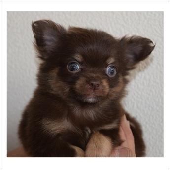 チワワ(ロング)の子犬(ID:1254311076)の1枚目の写真/更新日:2017-05-06