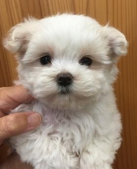 マルチーズの子犬(ID:1254311080)の1枚目の写真/更新日:2018-08-14
