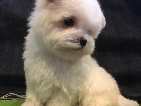 マルチーズの子犬(ID:1254311080)の2枚目の写真/更新日:2018-08-14