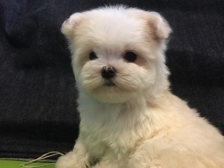 マルチーズの子犬(ID:1254311080)の3枚目の写真/更新日:2018-08-14