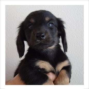 ミニチュアダックスフンド(ロング)の子犬(ID:1254311081)の1枚目の写真/更新日:2017-05-20