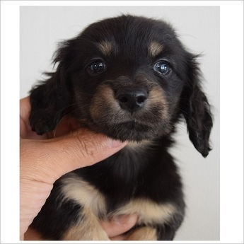 ミニチュアダックスフンド(ロング)の子犬(ID:1254311082)の1枚目の写真/更新日:2017-05-20