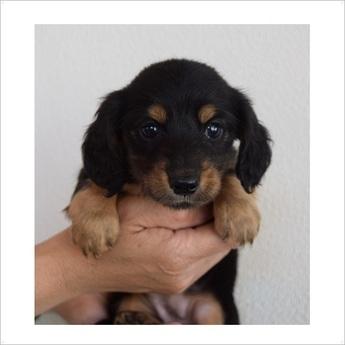 ミニチュアダックスフンド(ロング)の子犬(ID:1254311083)の1枚目の写真/更新日:2017-05-20
