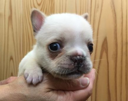 フレンチブルドッグの子犬(ID:1254311086)の1枚目の写真/更新日:2017-07-03
