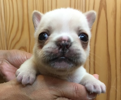 フレンチブルドッグの子犬(ID:1254311086)の2枚目の写真/更新日:2020-01-23