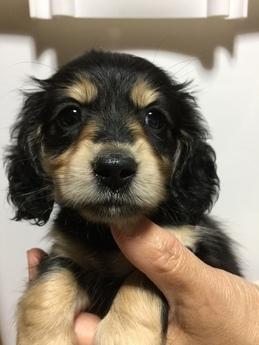 ブルドッグの子犬(ID:1254311088)の1枚目の写真/更新日:2017-08-19
