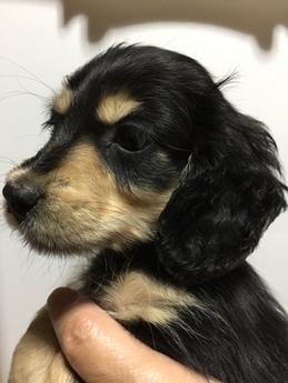 ブルドッグの子犬(ID:1254311088)の2枚目の写真/更新日:2017-08-19