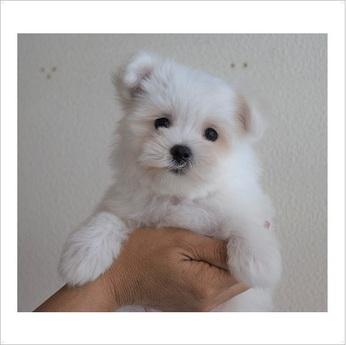 マルチーズの子犬(ID:1254311092)の1枚目の写真/更新日:2017-08-28