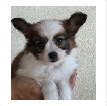 パピヨンの子犬(ID:1254311093)の1枚目の写真/更新日:2017-09-01