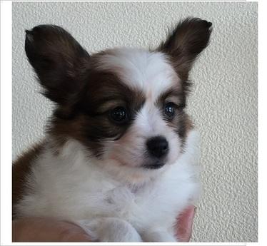 パピヨンの子犬(ID:1254311093)の2枚目の写真/更新日:2017-09-01
