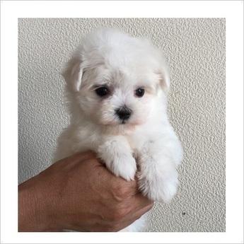 マルチーズの子犬(ID:1254311094)の1枚目の写真/更新日:2017-09-01