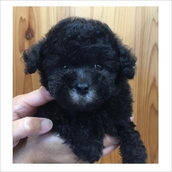 トイプードルの子犬(ID:1254311095)の1枚目の写真/更新日:2017-09-20