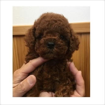 トイプードルの子犬(ID:1254311096)の1枚目の写真/更新日:2018-08-14