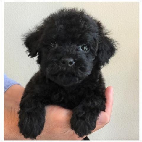 トイプードルの子犬(ID:1254311097)の1枚目の写真/更新日:2017-09-26