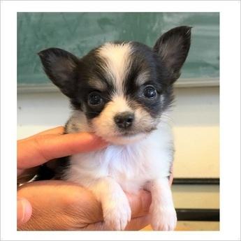 チワワ(ロング)の子犬(ID:1254311100)の1枚目の写真/更新日:2017-10-17