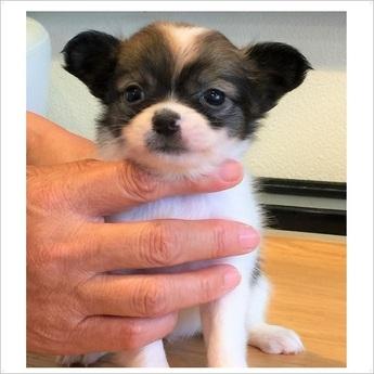 チワワ(ロング)の子犬(ID:1254311102)の1枚目の写真/更新日:2017-10-17