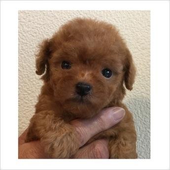 トイプードルの子犬(ID:1254311103)の1枚目の写真/更新日:2017-11-13
