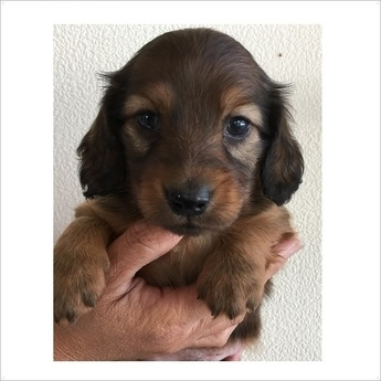 ミニチュアダックスフンド(ロング)の子犬(ID:1254311104)の1枚目の写真/更新日:2017-11-13