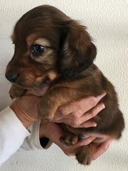 ミニチュアダックスフンド(ロング)の子犬(ID:1254311104)の2枚目の写真/更新日:2017-11-13