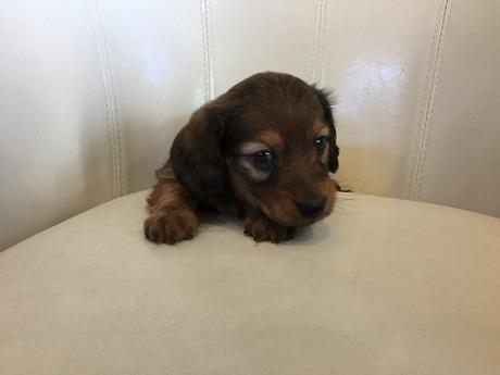 ミニチュアダックスフンド(ロング)の子犬(ID:1254311104)の4枚目の写真/更新日:2017-11-13