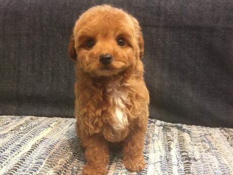 トイプードルの子犬(ID:1254311106)の1枚目の写真/更新日:2017-12-28