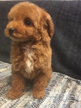トイプードルの子犬(ID:1254311106)の2枚目の写真/更新日:2017-12-28