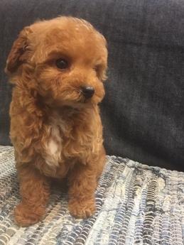 トイプードルの子犬(ID:1254311106)の3枚目の写真/更新日:2017-12-28