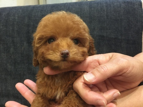 トイプードルの子犬(ID:1254311107)の1枚目の写真/更新日:2017-12-28