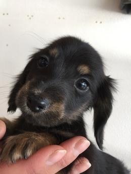 ミニチュアダックスフンド(ロング)の子犬(ID:1254311109)の1枚目の写真/更新日:2018-01-16