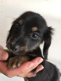 ミニチュアダックスフンド(ロング)の子犬(ID:1254311109)の3枚目の写真/更新日:2018-01-16