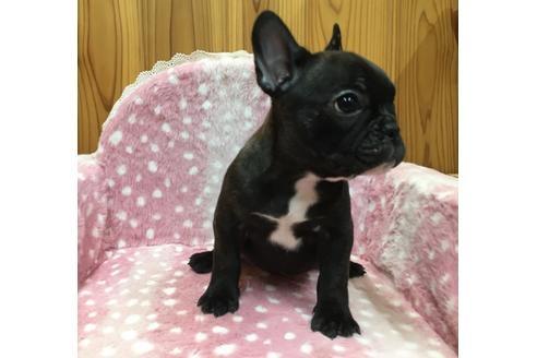 フレンチブルドッグの子犬(ID:1254311110)の2枚目の写真/更新日:2018-01-16