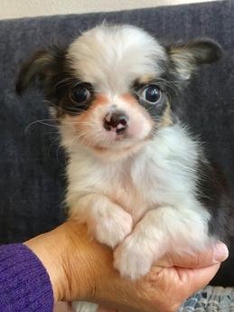 チワワ(ロング)の子犬(ID:1254311112)の1枚目の写真/更新日:2018-02-01