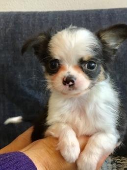 チワワ(ロング)の子犬(ID:1254311112)の2枚目の写真/更新日:2018-02-01