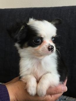 チワワ(ロング)の子犬(ID:1254311112)の3枚目の写真/更新日:2018-02-01