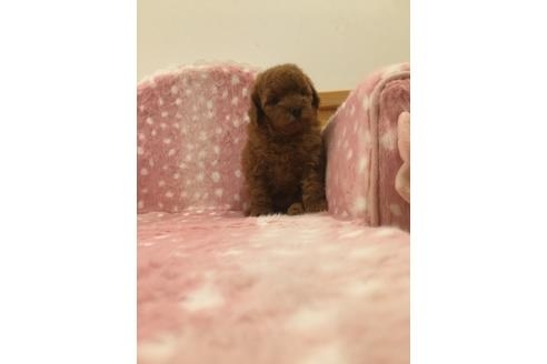 トイプードルの子犬(ID:1254311113)の1枚目の写真/更新日:2021-04-19