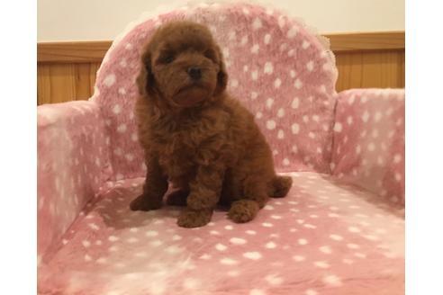 トイプードルの子犬(ID:1254311113)の2枚目の写真/更新日:2018-02-06