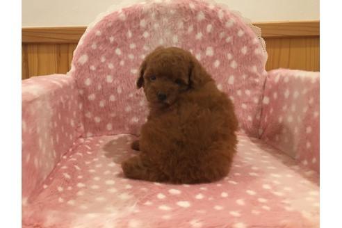 トイプードルの子犬(ID:1254311113)の3枚目の写真/更新日:2021-04-19
