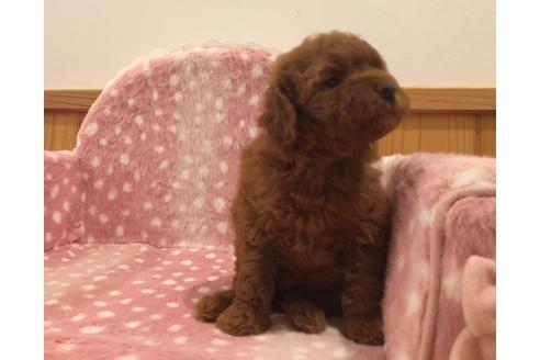 トイプードルの子犬(ID:1254311113)の4枚目の写真/更新日:2021-04-19