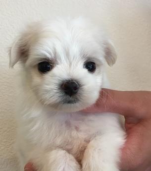 マルチーズの子犬(ID:1254311115)の1枚目の写真/更新日:2018-04-19