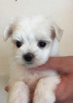 マルチーズの子犬(ID:1254311115)の2枚目の写真/更新日:2018-04-19