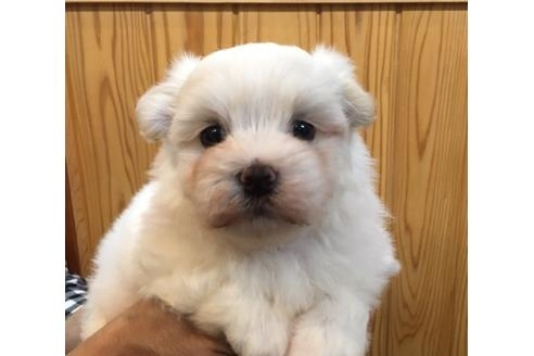 マルチーズの子犬(ID:1254311116)の1枚目の写真/更新日:2018-04-19