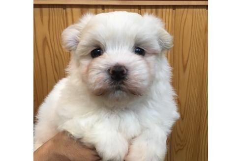 マルチーズの子犬(ID:1254311116)の2枚目の写真/更新日:2018-04-19