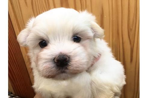 マルチーズの子犬(ID:1254311116)の3枚目の写真/更新日:2021-07-09