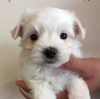 マルチーズの子犬(ID:1254311117)の1枚目の写真/更新日:2018-04-19