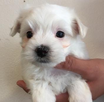 マルチーズの子犬(ID:1254311117)の2枚目の写真/更新日:2018-04-19