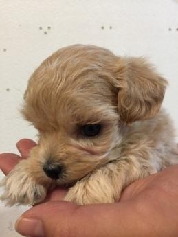 ミックスの子犬(ID:1254311118)の2枚目の写真/更新日:2018-06-15